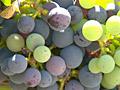 Gallo: grapes to mass-market wine