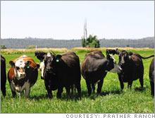 cows.03.jpg