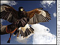 Hunting with Falcons